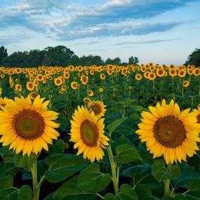 Sunflower Sunrise by Jack Nevitt - Nature Up Close Flowers - 2011-2013 ( nature, sunflower, sunrise, flowers, landscape )