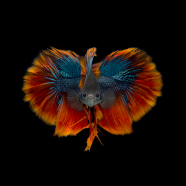 BirdFish by Ganjar Rahayu - Animals Fish ( orange, red, blue, fish, beautiful, yellow, beauty, tail, feather, black, composite )