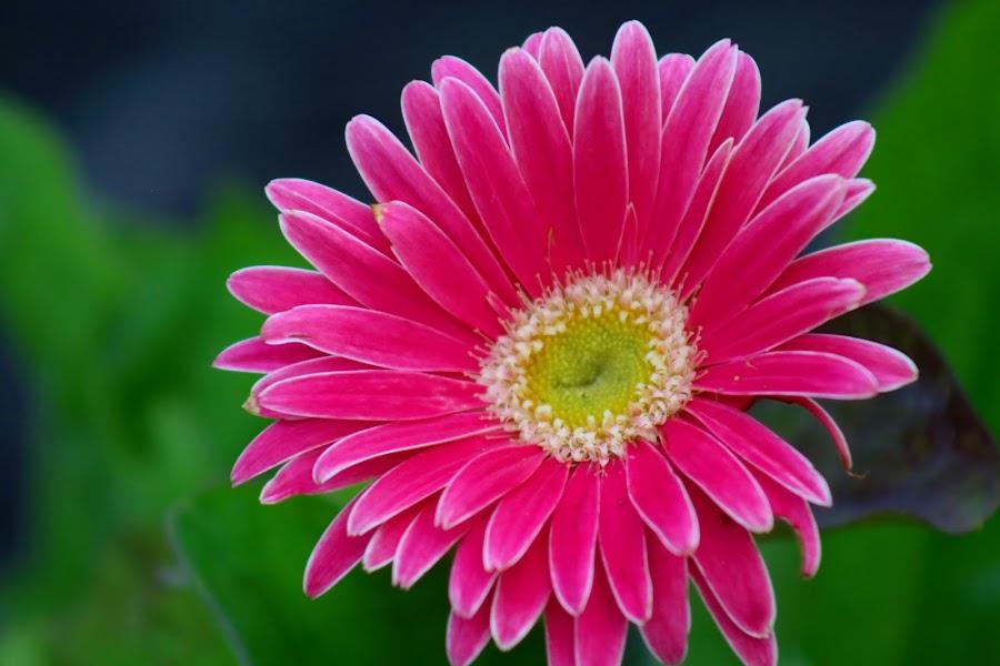 by Alisa Wilkerson - Flowers Single Flower