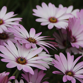 Osteospermum flowers by Vicki Clemerson - Flowers Flower Gardens ( white flowers, flower petals, osteospermum, petals, white, pink tipped white flowere, garden flowers, pink, flowers,  )