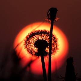 Dandelion sunset by Vedran Ristić - Nature Up Close Other plants ( plant, macro, dandelion, calming, silhouette, sunset, flower )