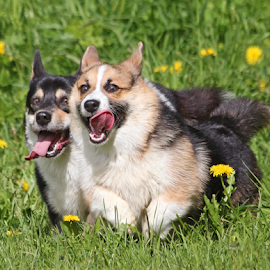 Brotherly competition by Mia Ikonen - Animals - Dogs Running ( playing, canine, competing, pet, pembroke welsh corgi, action, finland, summer, fun, dog, running, mia ikonen )