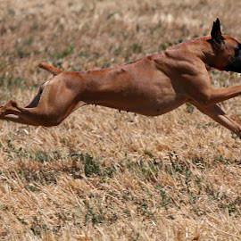 Faster than a speeding bullet... by Suzi Wahl - Animals - Dogs Running