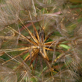 Up Close by Chrissie Barrow - Nature Up Close Other plants ( plant, wild, acro, fluffy, green, jack-go-to-bed-at-noon, brown, meadow salsify, seeds, m, closeup, seedhead )