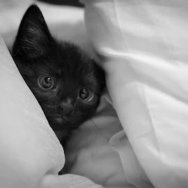 Bailey by Eugene O'Connor - Animals - Cats Kittens (  )