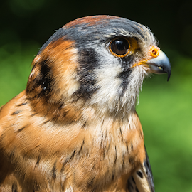 American Kestrel Profile by Keith Sutherland - Animals Birds ( american kestrel, close up, profile,  )