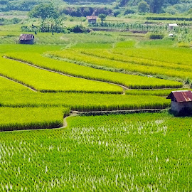 Rice plantation by Faisal Syafar - Nature Up Close Gardens & Produce