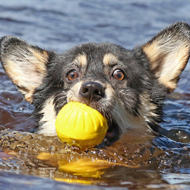 Chilly water by Mia Ikonen - Animals - Dogs Playing ( action, pembroke welsh corgi, finland, fun, swimming )