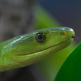 Green by Jürgen Sprengart - Animals Amphibians ( point, snake, mamba, green )