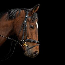 Alberta's Dream by Jason Bax - Animals Horses ( horse portrait, thoroughbred sports photography, jason bax, alberta's dream, vbeventing, ex-racehorse )