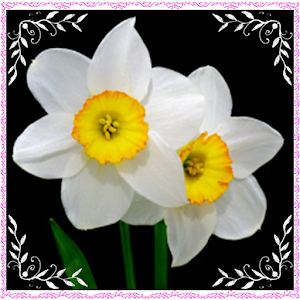 New Daffodil Flowers Onet Game