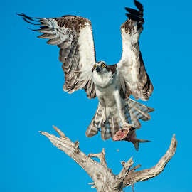 osprey by Dawn Riddle - Uncategorized All Uncategorized ( bird, fishing, osprey )