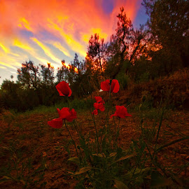Poppies dreaming sunset by Fabrizio Reali - Landscapes Cloud Formations ( clouds, canon, red, sky, nature, colors, sunset, poppies, fire )