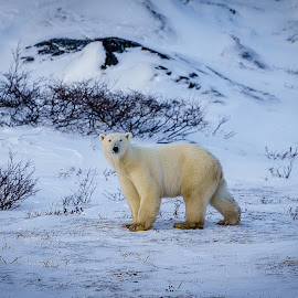 Polar Bear goin' fishing by Lee Davenport - Animals Other Mammals (  )