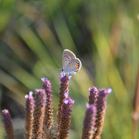 Grass Jewel Blue by Jared Van Bergen - Animals Insects & Spiders ( photos, purple, nature, butterflies, flowers, photography )