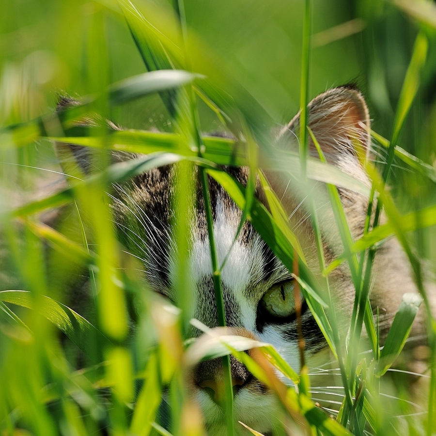 I see you !!! by Fabio Ponzi - Animals - Cats Portraits ( cat, grass, play, eyes, green. love )
