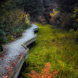 Cedar Swamp by Heather Hubbard - Landscapes Forests ( nature, autumn, trail, fall, forest, bridge, landscape, swamp )