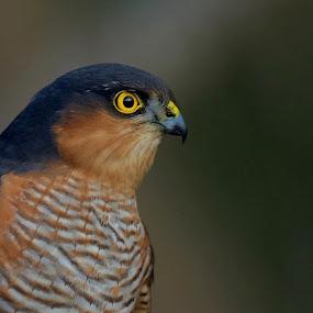 Sparvhöken by Michael Pelz - Animals Birds