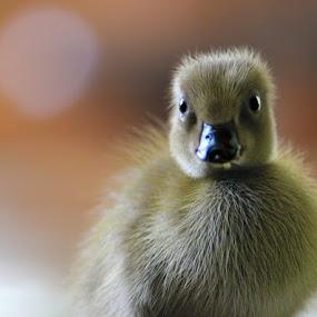 Ducky by Budi Risjadi - Animals Birds