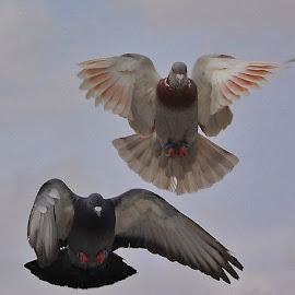 Pigeon by Mohammad Hadi - Animals Birds ( sky, nature, fly, birds, animal )