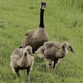 Mom And Twins by Cindy Cooper Houser - Digital Art Animals ( bird, wild, animals, wildlife, digital photography, geese, digital, birds, animal, goose )