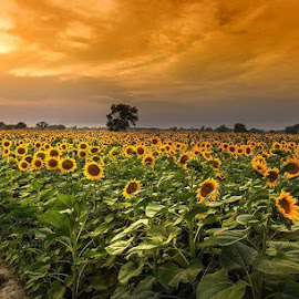 Sunflowers  by Abdul Rehman - Landscapes Prairies, Meadows & Fields ( vertical arts fine art travel yellow love sky weather flowers light u nity trending colors twilight art daisies mood journey horizon rural portrait country dawn environment season horiz ons serene popular outdoors lines natural hope inspirational canon wisconsin ray joy sunse t landscape sun photography life emotions dramatic horizons inspired clouds office heaven camera beautiful scenic living morning field natu re blue peace meadow summer beam sunrise earth garden )