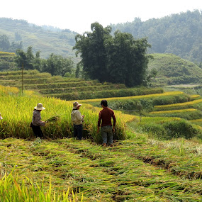 At work in Sapa by Vita Perelchtein - Novices Only Landscapes ( rice, mountain, northern vietnam, grass, green, vietnam, yellow, hat, colour, mountains, hay, sapa, harvest, fields )