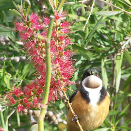 Eastern Spinebill by Sarah Harding - Novices Only Wildlife ( colour, bird, nature, novices only, wildlife )