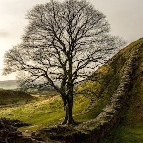 Sycamore Gap  by John Haswell - Landscapes Prairies, Meadows & Fields ( northumberland, tree, autumn, landscape, wall )