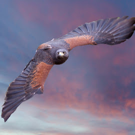 Meet Laredo, The Female Harris Hawk by Sandy Scott - Animals Birds ( animals, wildlife, harris hawk, birds, skies, hawk, predators, birds of prey, wings, sunset, hawk in flight, raptor, sunrise, falconry )