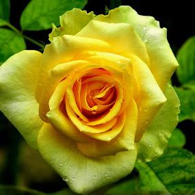 by Sultan Firaun - Flowers Single Flower (  )