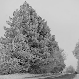 Frosted Spruce by Debra Griffin - Landscapes Weather ( spruce, majestic, frost, weather, country )
