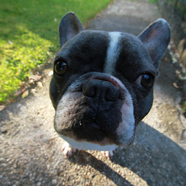uuu...is that a camera? by Bery Foto - Animals - Dogs Portraits ( fisheye, funny, french bulldog, dog, nose, closeup )