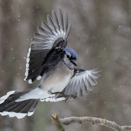 Blue Jay by Carl Albro - Animals Birds ( landing, blue jay, bird, flying, branch )