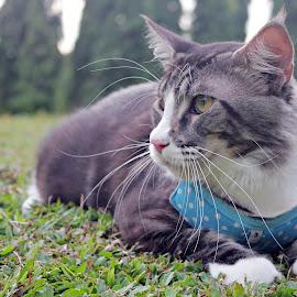 by Haslan Bendahara Abdul Hamid - Animals - Cats Portraits ( cats, bendahara cattery, maine coon, malaysia, flynn rider )