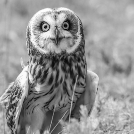 Owl by Garry Chisholm - Black & White Animals ( raptor, bird of prey, nature, short eared owl, garry chisholm )