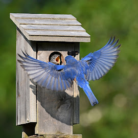 Eastern Bluebird by Steven Liffmann - Animals Birds