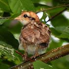 Ruffed Grouse (chick)