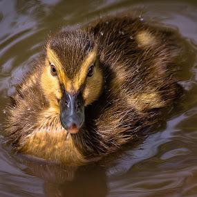 Mallard Duckling by Dave Lipchen - Animals Birds ( mallard duckling )