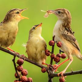 Prinia Inornata by MazLoy Husada - Animals Birds