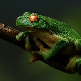 Green Frog by Susan Marshall - Animals Amphibians ( nature, frog, green, tree frog, treefrog, rainforest )