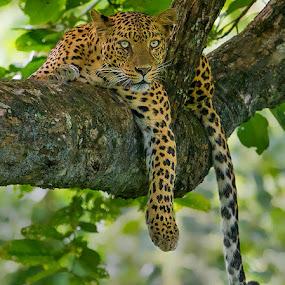 Leopard by S Balaji - Animals Lions, Tigers & Big Cats ( s.balaji, wild, animals, nature, close up, leopard,  )