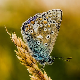 Blue Butterfly. by Peter Bartlett - Animals Insects & Spiders