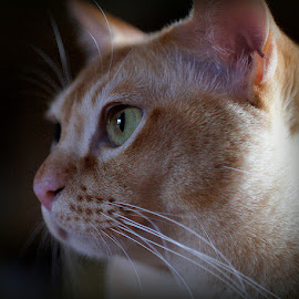 tom by Caroline Beaumont - Animals - Cats Portraits ( burmese cat )