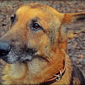 Teddy  by Bri Helton - Animals - Dogs Portraits ( canine, animal portrait, pet, woof, bark, german shepherd dog, cute, german shepherd, dog, domesticated animal, gsd, animal )