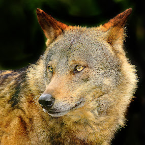 The iberic wolf by Gérard CHATENET - Animals Lions, Tigers & Big Cats (  )
