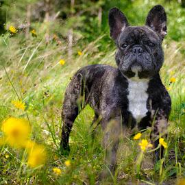 Summer flowers by Marcus Holmqvist - Animals - Dogs Portraits ( frenchie, sweden, bulldog, fransk, hund, summer, french bulldog, french, dalarna, dog, flower )
