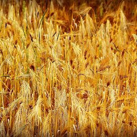 Wheat by Heather Aplin - Nature Up Close Gardens & Produce