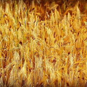 Wheatbis.jpg