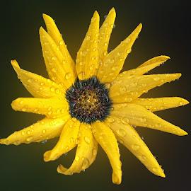Mukha 2 by Abdul Rehman - Flowers Single Flower ( beauty of nature, natural light, beautful, colorful, dew, colors, dew drop, beauty, mother nature, colours, nature, rain drops, natural, rain )